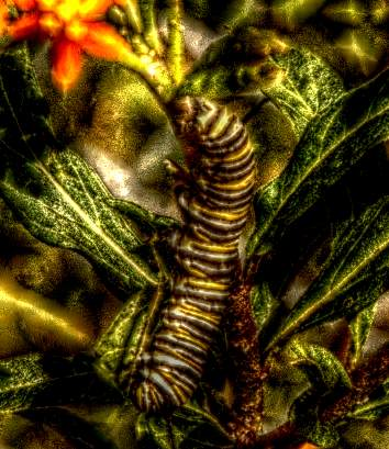 HDR Caterpillar