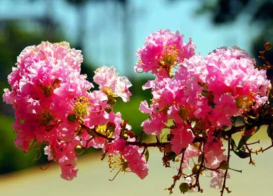 Crape Myrtle blooms.