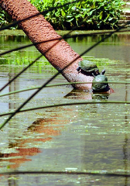 Saggitaria Platyphylla (Delta Duckpotato)