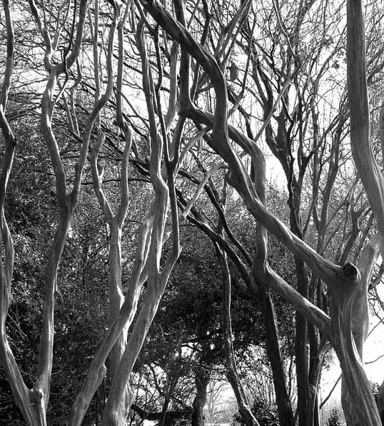 Crape Myrtle grove at the Dallas Arboretum