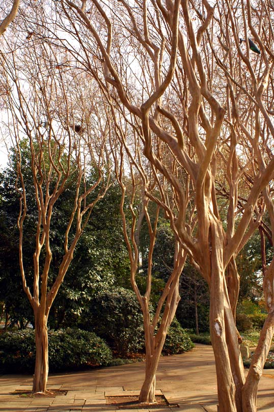 Crepe Myrtle grove at the Dallas Arboretum
