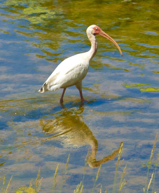 I think this is an American  White Ibis