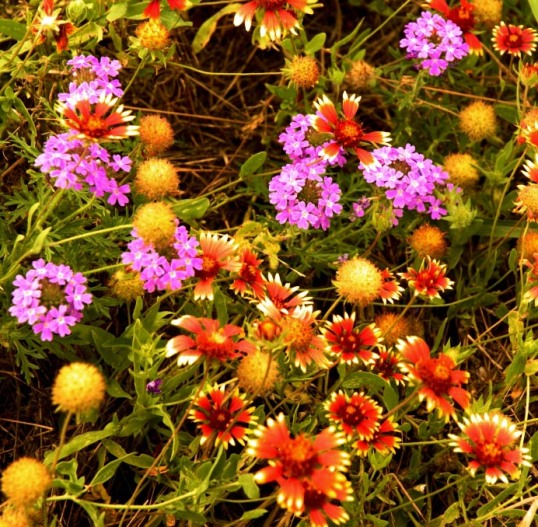 Wildflowers south of Dallas.
