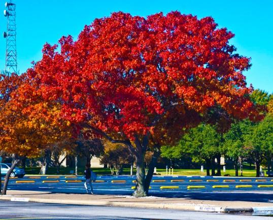 Fall Colors University of Texas at Dallas Richardson, Texas (click to enlarge)
