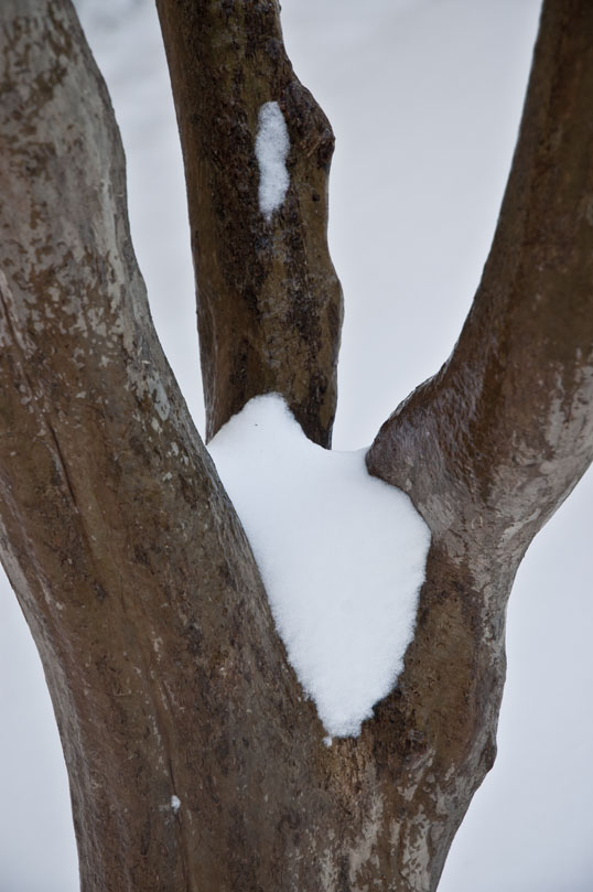 Crepe Myrtle trunk in the snow