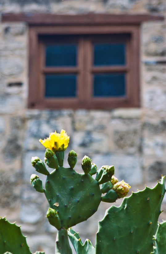 Prickly Pear in bloom The Alamo San Antonio, Texas